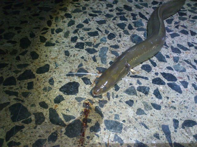eel (Small).JPG