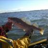 Kayaking for Cod