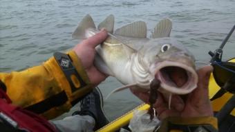 Kayak Fishing for Cod – Winter Cod fishing