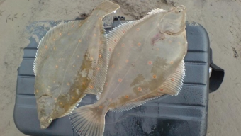 Morecambe Plaice Hunt